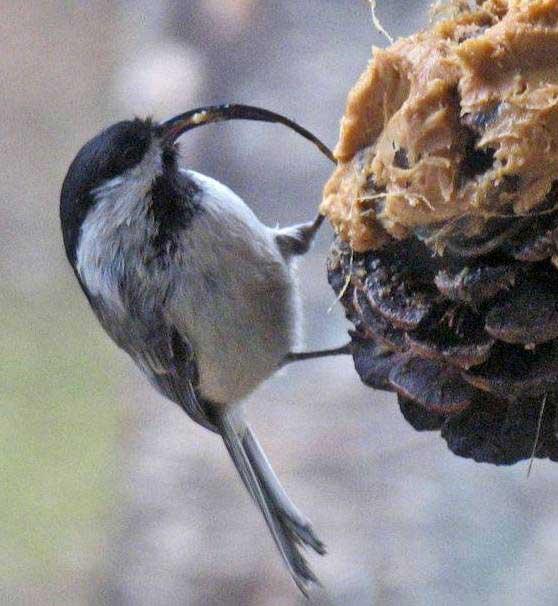 Chickadee afflicted with Avian Keratin Disorder