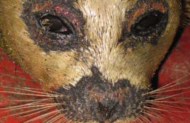 Seal from Alaskan waters showing lesions from an unknown cause
