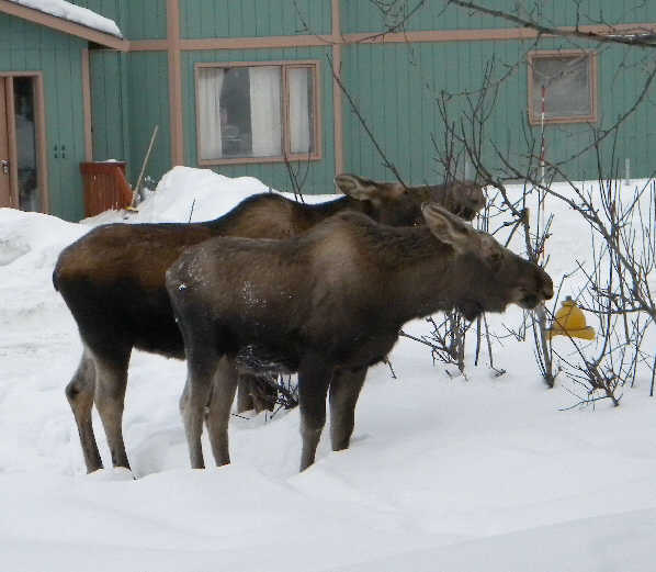 A cow moose and her calf in Anchorage, AK