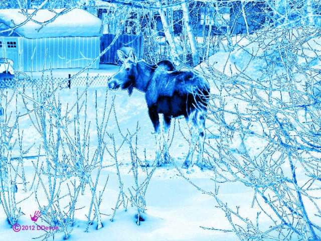 A cow moose in Anchorage, AK