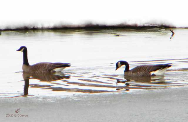 Two Canada Geese in Alaska