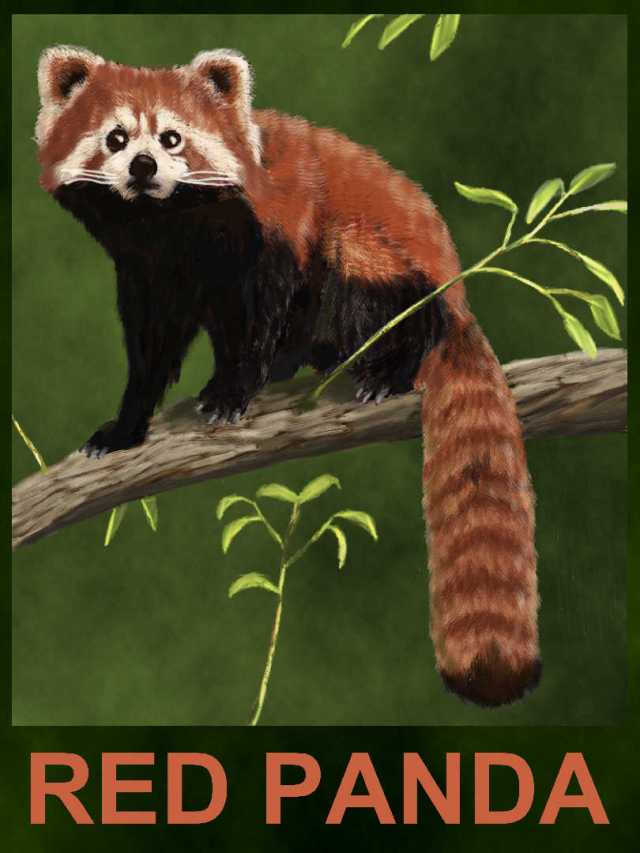 The red, or lesser, panda - Ailurus fulgens
