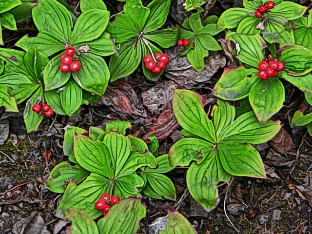 Bunchberry with berries