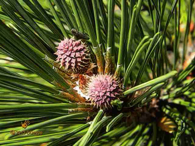 Immature female strobili of Pinus monticola