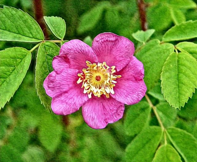 Rosa spp,