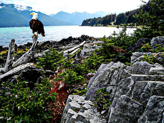 bald eagle perched on driftwood along Alaska coast