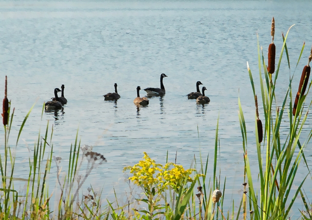 honkers and cattails